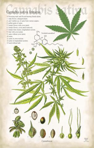 cannabis sativa linnaeus