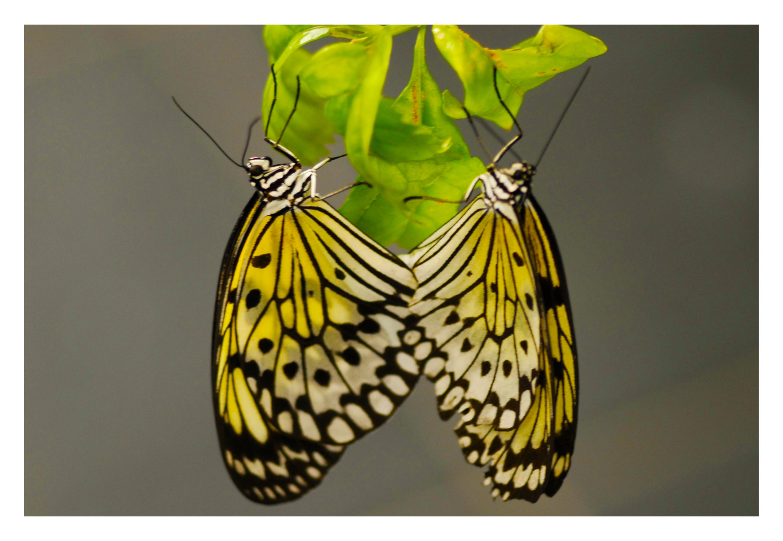 Rice Paper Butterfly - Idea leuconoe