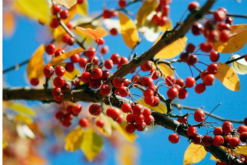 berries in a blue sky