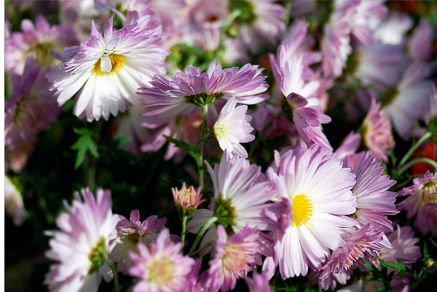 purple and white mums