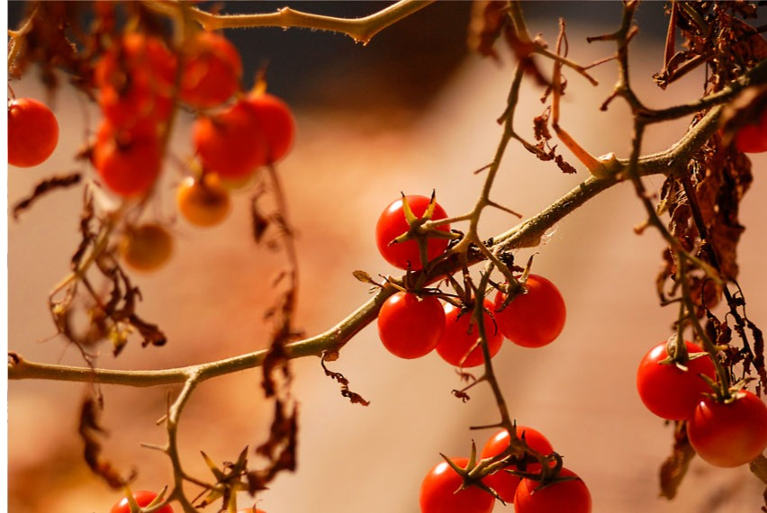 drying red berries