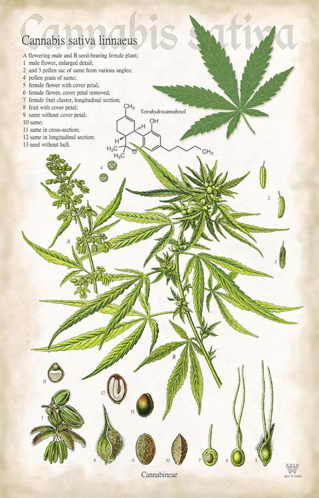 Cannabis sativa linnaeus - poster